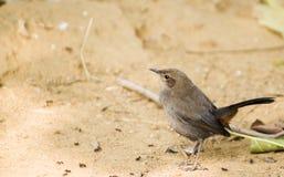 Petit towhee brun de la Californie d'oiseau photos libres de droits