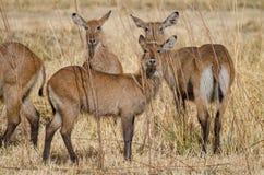 Petit troupeau d'antilopes de mâle de l'eau se cachant entre l'herbe sèche grande dans Pendjari NP, Bénin Photos stock