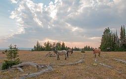 Petit troupeau de chevaux sauvages frôlant à côté des rondins de bois mort au coucher du soleil dans la chaîne de cheval sauvage  Image libre de droits