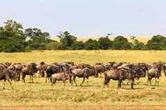 Petit troupeau de gnou dans la savane Masai Mara, Kenya images stock