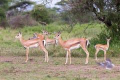 Petit troupeau de la gazelle de Thomson Image stock