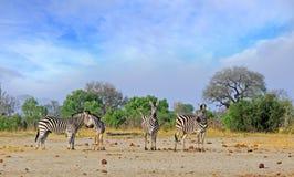 Petit troupeau de position de zèbre sur la savane africaine avec un ciel nuageux pâle gentil images libres de droits