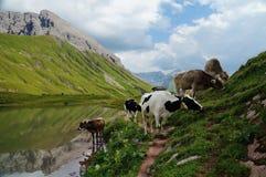 Petit troupeau de vaches avec des cloches frôlant dans les Alpes centraux autrichiens images stock
