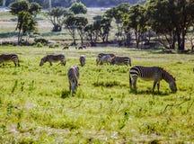 Petit troupeau de zèbres frôlant sur l'herbe de plaines Photographie stock