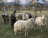 Petit troupeau des moutons dans la réservation Images stock
