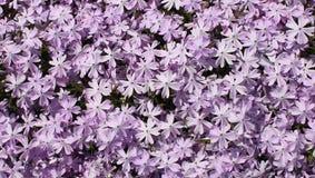 Petit troupeau pourpre des fleurs Photographie stock