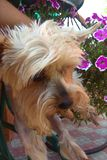 Petit un chien merveilleux et doux à York image stock