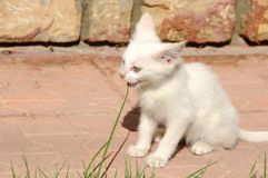 Petit van cat aux yeux impairs mangeant l'herbe images stock