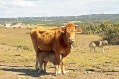 Petit veau buvant de sa vache à maman Images stock