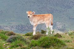 Petit veau sur un pâturage de montagne en Sardaigne Image stock