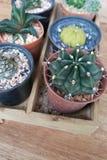 Petit vert de cactus dans le pot avec le fond en bois Image libre de droits