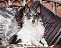 Petit vieux chien se reposant sur le divan avec la couverture et les coussins Photographie stock libre de droits