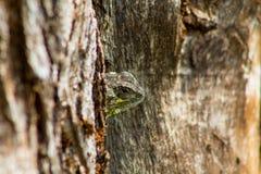 Petit visage de lézard vert sur le tronc d'arbre Photographie stock libre de droits