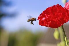 Petit vol d'abeille et nectar de rassemblement avec le beau pavot rouge photos stock