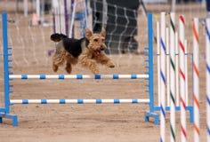 Petit vol de chien terrier au-dessus d'un saut Image stock