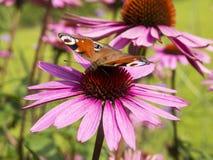Petite écaille sur la vue de côté de fleur rose d'aster Image libre de droits