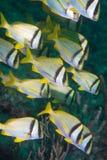 Petite école de la natation de porkfish. Images stock