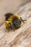 Petite abeille Photo stock