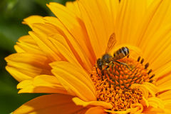Petite abeille Images stock
