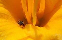 Petite abeille s'élevant sur le pétale de fleur de daylily images libres de droits