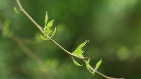 Petite abeille se reposant sur de jeunes feuilles de ressort de la branche d'arbre orange d'Osage, 4K banque de vidéos