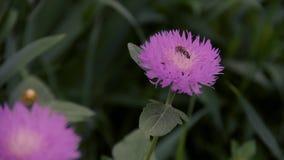 Petite abeille sur la fleur banque de vidéos