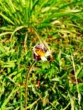 petite abeille sur la fleur d'herbe Photos libres de droits