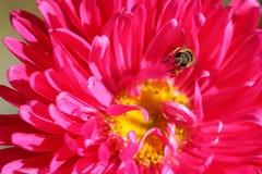 Petite abeille sur la fleur rose de marguerite image libre de droits