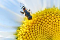 Petite abeille sur une fleur Photos libres de droits