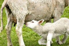 Petite alimentation d'agneau Images libres de droits