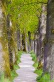 Petite allée avec le chemin de pied avec de vieux chênes photographie stock libre de droits