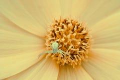 Petite araignée à l'intérieur de fleur dans l'instruction-macro Photographie stock