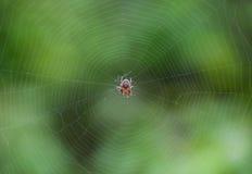 Petite araignée en son Web d'Araneus Réseau d'araignée de Lovcen Photo libre de droits