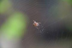Petite araignée en son Web d'Araneus Réseau d'araignée de Lovcen Photo stock