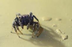 Petite araignée sautante sur le plancher Photo libre de droits
