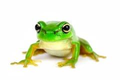 Petite arbre-grenouille sur le fond blanc Photo stock