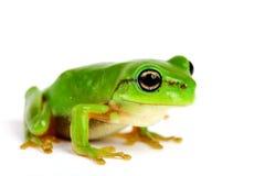 Petite arbre-grenouille sur le fond blanc Image stock