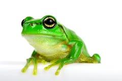 Petite arbre-grenouille sur le fond blanc Photo libre de droits