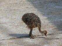 Petite autruche image libre de droits