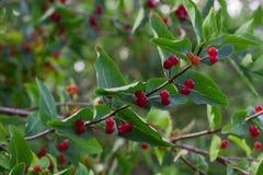 Petite baie rouge sur l'arbuste Photographie stock libre de droits