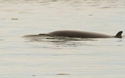 Petite baleine (acutorostrata de Balaenoptera) Photographie stock libre de droits