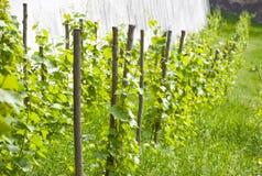 Petite belle vigne Photos stock