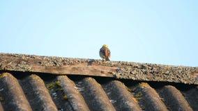 Petite birdie se reposant sur le bord de toit clips vidéos
