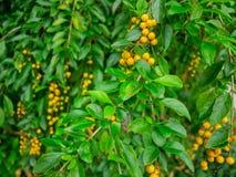 Petite boule de fruit sur l'arbre Image libre de droits