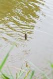 Petite brème pêchée accrochant sur l'hameçon Photo libre de droits