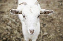 Petite chèvre à une ferme Photographie stock