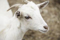 Petite chèvre à une ferme Images libres de droits