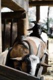 Petite chèvre Image stock