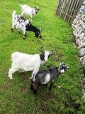 Petite chèvre Photos stock