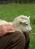 Petite chèvre Images libres de droits